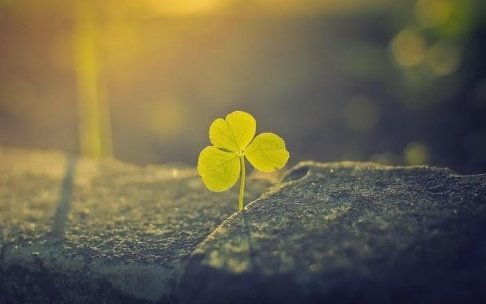 Ý nghĩa cỏ ba lá trong phong thủy và sự thật bất ngờ 3