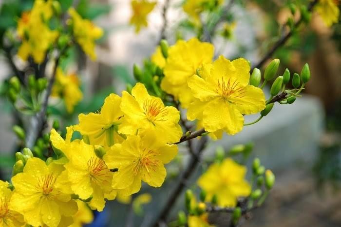 Tìm hiểu ý nghĩa hoa mai trong phong thủy, có thể bạn chưa biết 4